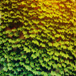 Wall covered with foliage of ivy. Natural green background. — Stock Photo #60812967