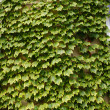 Wall covered with foliage of ivy. Natural green background. — Stock Photo #60812993