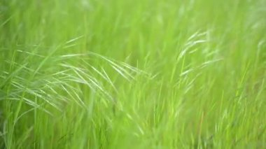 Green Grass Swaying in the Wind — Stock Video