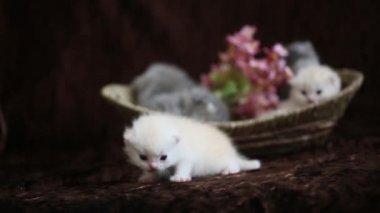 Newborn kittens in a wicker basket — Stock Video