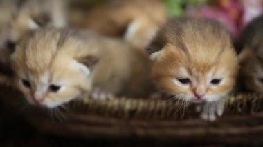 Little  kittens lying  in wicker basket — Stock Video