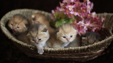 British gold kittens in a basket — Stock Video