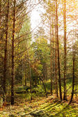 Ray sunlight falls through the branches of trees — Stock Photo