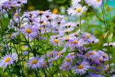 фиолетовый ромашка цветок — Стоковое фото