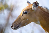 Brown female impala head close up — Stock Photo