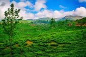 Tea plantation under blue sky — Stock Photo