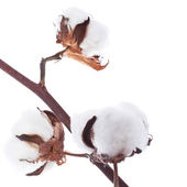 Branch of the cotton — Stock Photo