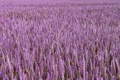 Violet field — Stock Photo