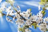 Sakura blanco flores — Foto de Stock