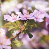 Cherry tree in flowers — Stock Photo