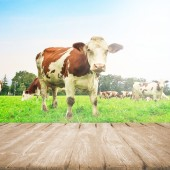 Field with cow — Stock Photo