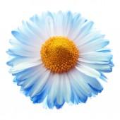 Blue Marguerite isolated — Stock Photo