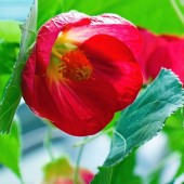 Rote Frühlingsblume — Stockfoto