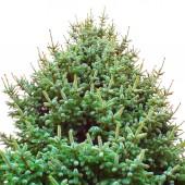 Close up pine tree — Stock Photo
