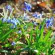 Snow drop flower in soil — Stock Photo #70148697
