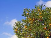 Satsuma Mandarin tree with fruits and leaves — Stock Photo