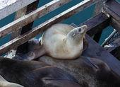 California sea lions — Stock Photo