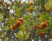 Árbol de mandarina con frutos y hojas — Foto de Stock