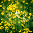 Yellow rape field — Stock Photo #52450473