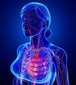 Kvinnliga hjärtat cirkulatorisk — Stockfoto