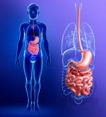 Small intestine anatomy of male — Stockfoto
