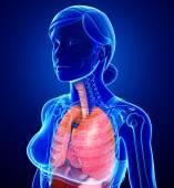 Female respiratory system — Stock Photo