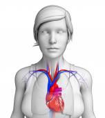Kvinnliga hjärtat anatomi — Stockfoto
