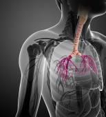 Male throat anatomy — Stock Photo