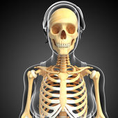 Human front view skeleton — Stock Photo