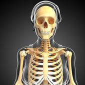 Human front view skeleton — Stock Photo