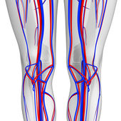 Knee circulatory system — Foto Stock