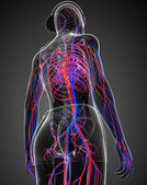 Female circulatory system — Foto Stock