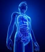 Xray digestive system of male body — Foto Stock