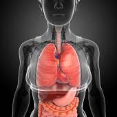 Female digestive system artwork — Stock Photo