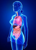 Female digestive system — Stock Photo