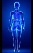 Female spleen anatomy — Stock Photo