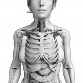 Digestive system of female anatomy — Stock Photo