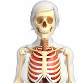 Female lungs and skeleton artwork — Stockfoto