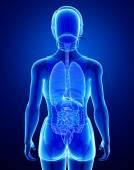 Xray digestive system with female anatomy — Stock Photo