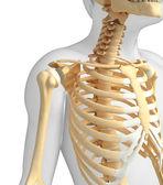 Shoulder skeleton artwork — Stock Photo