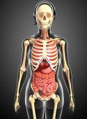 Female skeleton and digestive system — Stock fotografie