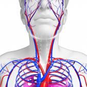 Human neck circulatory system — Stock Photo