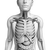 男性の解剖学の消化器系 — ストック写真