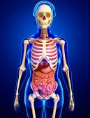 Female skeleton and digestive system — Stock Photo