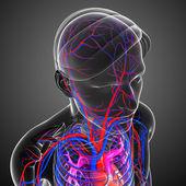 Brain circulatory system — Stock Photo