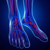 Foot circulatory system — Stock Photo