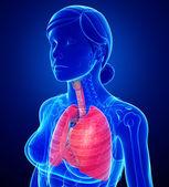 анатомия женских легких — Стоковое фото
