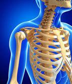 Human skeleton anatomy — Stock Photo