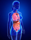 Digestive system of female body — Stock Photo
