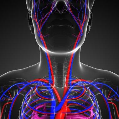 Male neck circulatory system